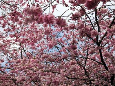 Kirsebærblomster!